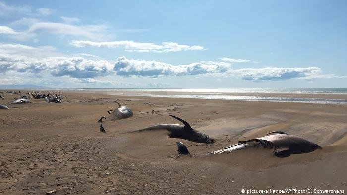 Pilot whales beached at Löngufjörur