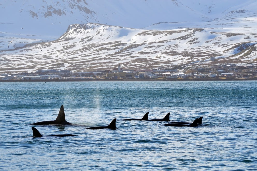 Killer whale-watching in West Iceland